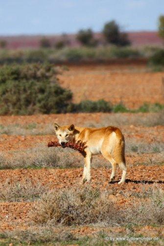 Dingo am Odnandatta-Track_26