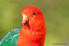 King Parrot im Lamington NP_12