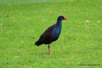 Komischer Vogel im Yanchep NP