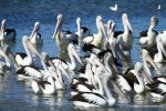 Pelikane im CoorongNP_15