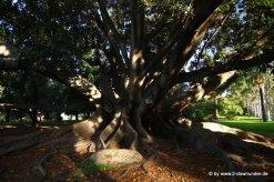 Alter Riesen-Ficus