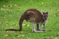 Känguru im Yanchep NP