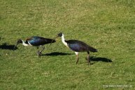 Ibis in Broome