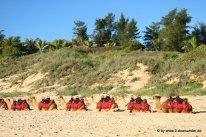 Kamel am Vable Beach (2)