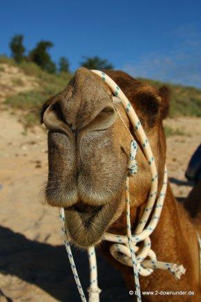 Kamel am Vable Beach (4)
