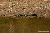 Frischwasserkrokodil im Windjana Gorge NP_003