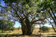 Größter Boab der Kimberleys in Wyndham_1