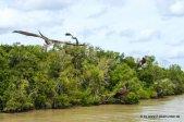Greifvögel bei der Jumping Crocodile Tour auf dem Adelaide River (5)