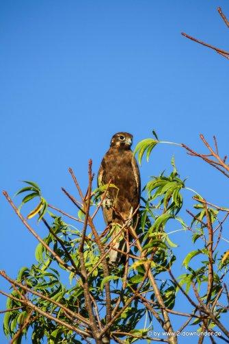 Greifvogel in den Kimberleys_1