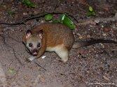 Possum in Darwin