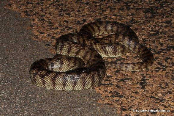 Python am Straßenrand_3