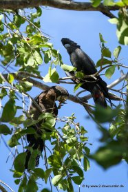 Rotschwanz-Kakadu in Kununurra_59