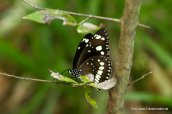 Schmetterling im Kakadu NP