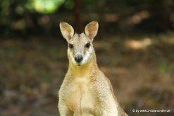 Wallabys im Katherine Gorge NP