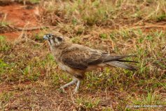 Greifvogel unterwegs auf Cape York