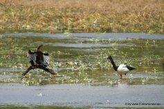 Komoran und Entegans auf Cape York im Lakefield NP