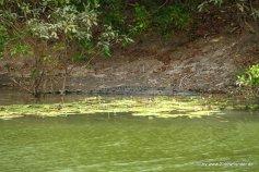 Salzwasserkrokodil im Lakefield NP auf Cape York