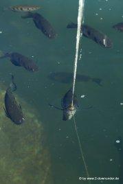 Schützenfisch beim Schießen im Lawn Hill NP (2)