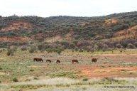 Wildpferde unteregs im Roten Zentrum (8)