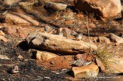 Zebrafinken im N'Dhala Gorge NP in den East Macdonnelll Ranges (1)