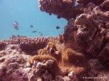 Clownfische beim Tauchen am GBR (4)