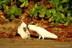 Gelbhaubenkakadu am Morgen in Palm Cove (2)