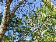 Kleiner gelber Vogel beim Daintree River Cruise