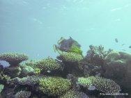 Korallen und Fische am GBR (15)