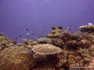 Korallen und Fische am GBR (21)