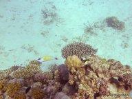 Korallen und Fische am GBR (24)