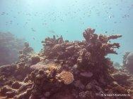 Korallen und Fische am GBR (29)
