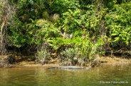 Krokodil beim Daintree River Cruise (1)