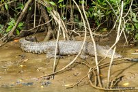 Krokodil beim Daintree River Cruise (4)