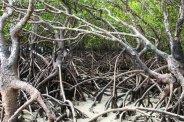 Mangrovenwald im Daintree NP