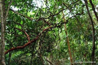 Regenwaldwalk im Daintree NP (1)