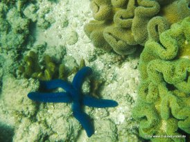 Seestern am Great Barrier Reef