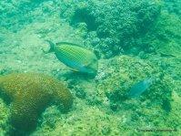 Unterwasserwelt beim Schnorcheln am Great Barrier Reef (13)