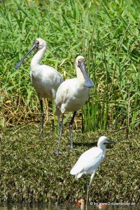 Wasservögel bei der Daintree River Cruise (1)