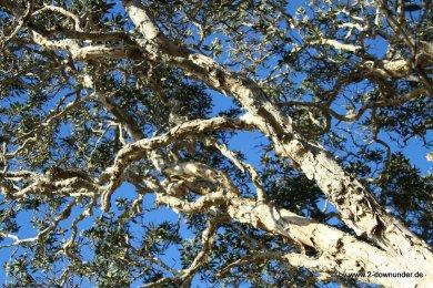 Baum im Noosa NP