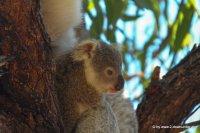 Koala und Babykoala auf Magnetic Island (1)