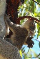 Koala und Babykoala auf Magnetic Island (2)