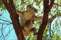Koala und Babykoala auf Magnetic Island (6)