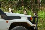 Kookaburras auf Auto im EungellaNP