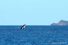 Springender Wal vom Boot aus (1)