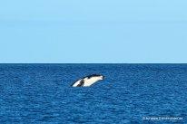 Springender Wal vom Boot aus (2)